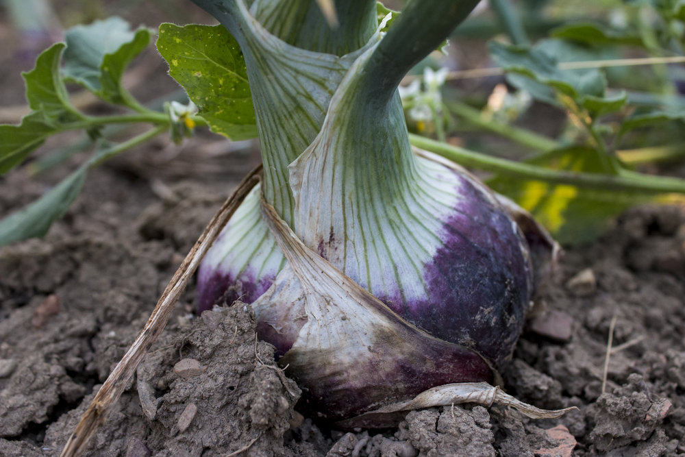 """An onion in Carol's organic garden. """"It's a different thing to start really working towards producing food for others. It takes a lot more thought and a lot more work -- but it's very rewarding too,"""" says Carol."""