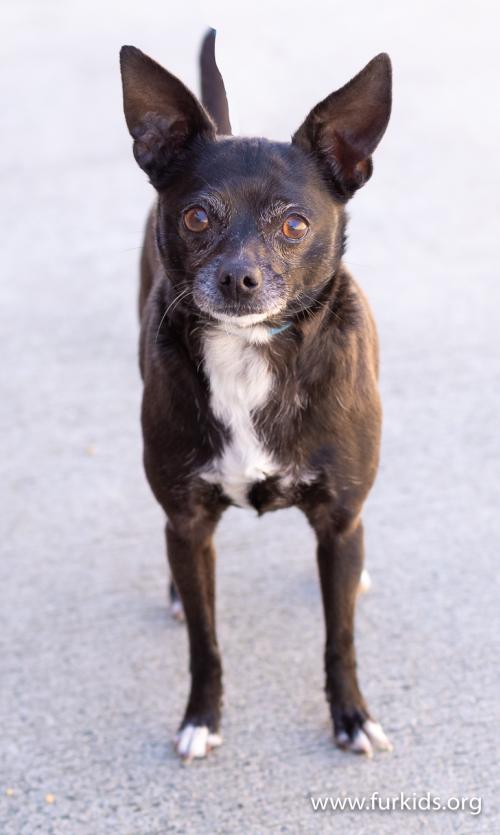 Coco Chanel the Chihuahua