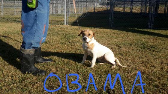 Obama the Labrador Retriever mix