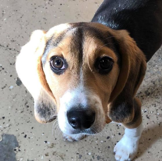 George Clooney the Beagle