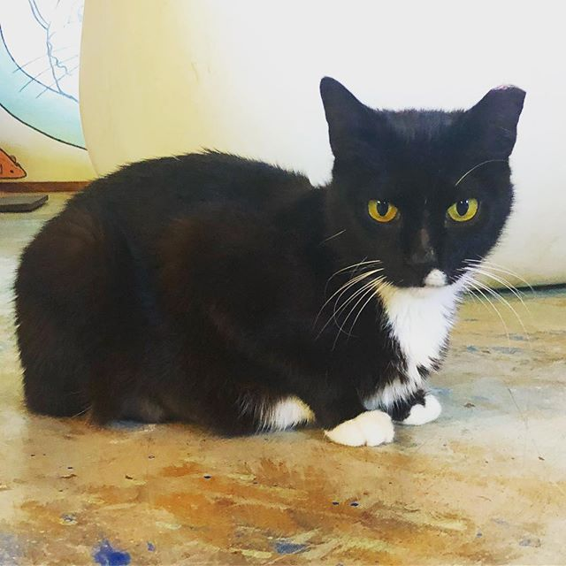 Introducing Mary Jane! This sweet girl LOVES attention. She is guaranteed to keep your lap warm if you stop by!  #bluecatcafe #catcafe #austin #austinadoptables #catrescue #tuxedocat