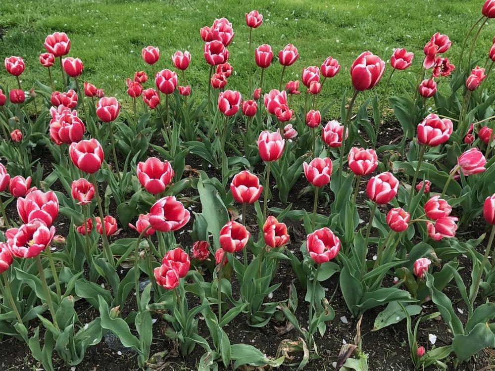 Boston Tulips