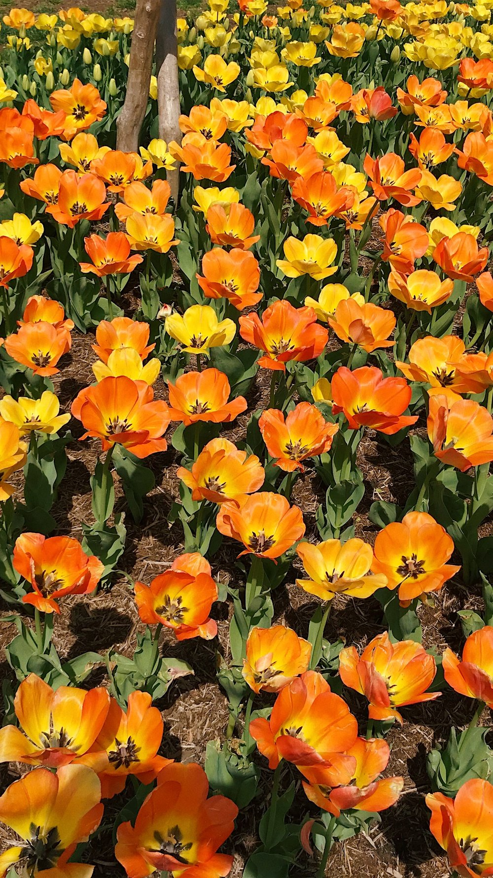 Spring Tulips in Washington DC