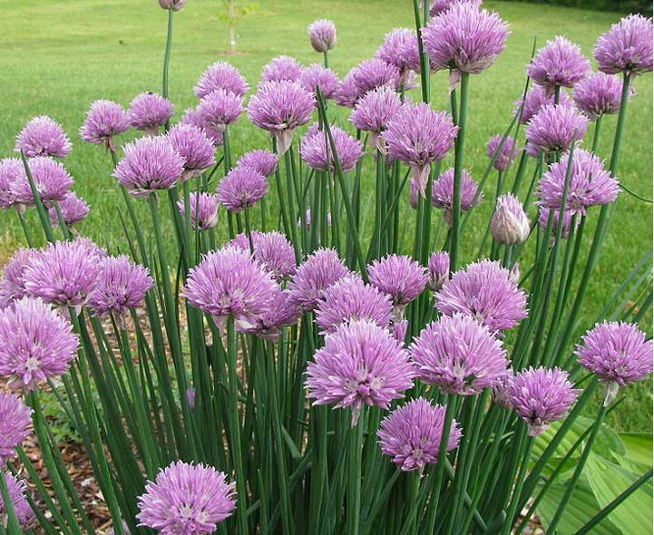 Chives - Old Finnish VarietyGarlic ChivesSiberian Blue/Karhunlaukka (Allium Nutans)Welsh Onion