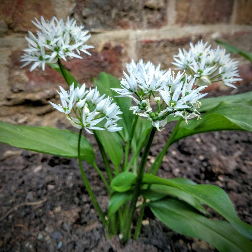 Garlic - Wild Garlic (Allium Ursinum)Thermador (French Bulb garlic)Old Finnish Variety (Bulb garlic)Bulgarian Honey Garlic (Edible leaves and flower)