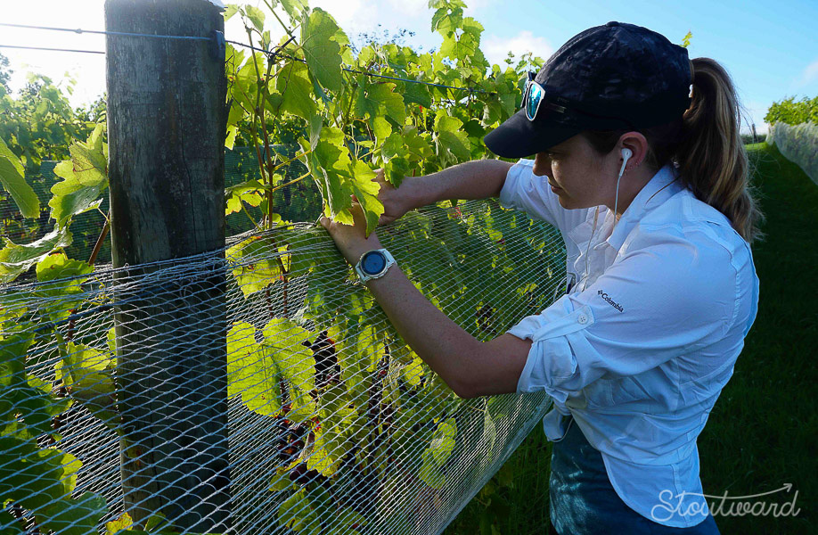 Stapling the nets above and below the vines to keep sneaky birds out.