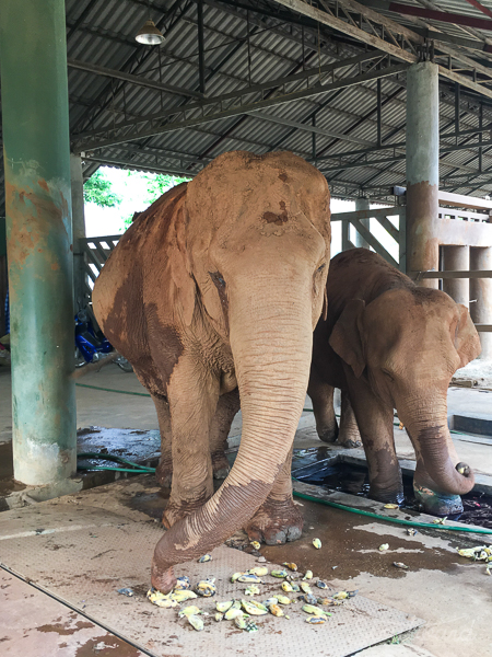 Elephants_Chiang Mai_Thailand_ENP_Elephant Nature Park_Rescue_Volunteer_Hike_Feed_Bath_Baby-2.jpg