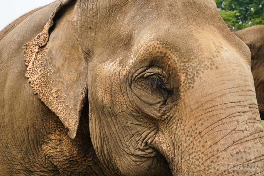 Elephants_Chiang Mai_Thailand_ENP_Elephant Nature Park_Rescue_Volunteer_Hike_Feed_Bath_Baby_Animals-2.jpg