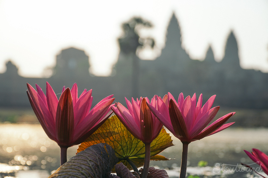 lotus flower growing out of swamp in front of angkor wat in siem reap cambodia in early morning light.