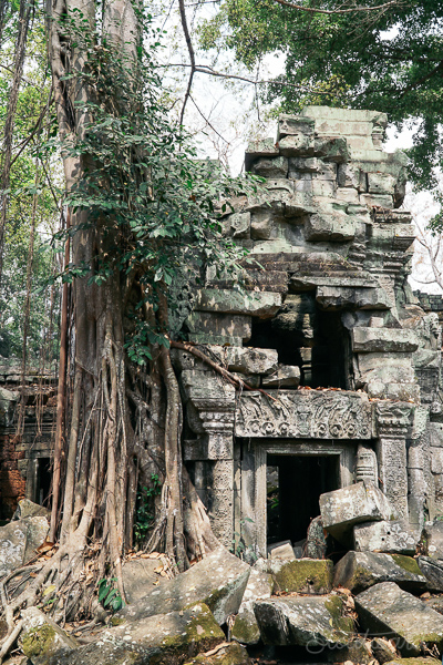 trees growing into ruins at Ta Prohm temple (tomb raider temple) in angkor area of siem reap cambodia.