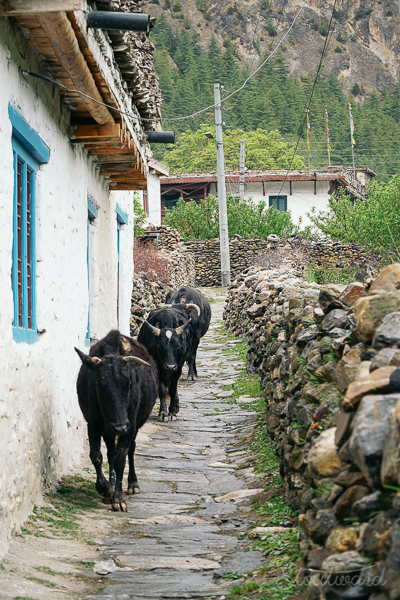 day 12 cows in the road-1.jpg