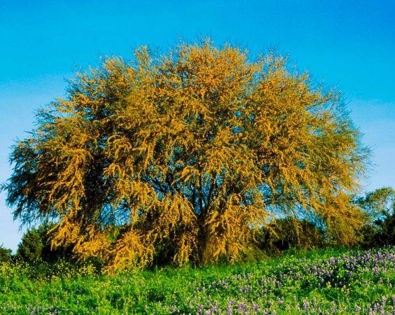 Huisache Tree