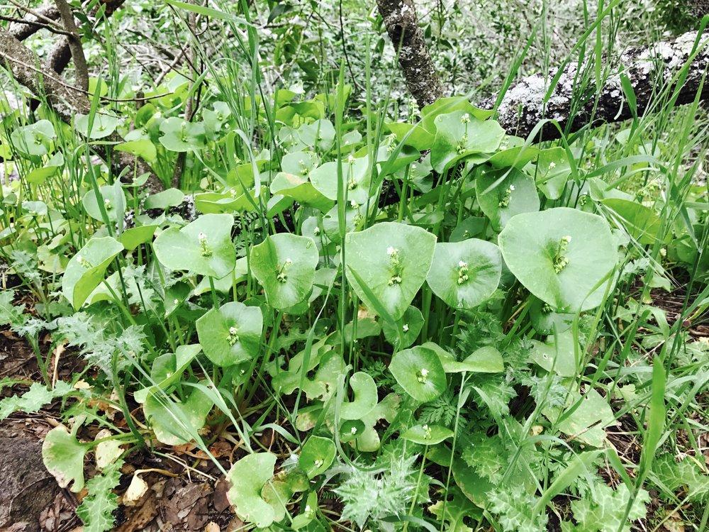 rooreh • Indian lettuce