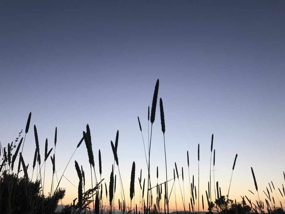 haale • cattails