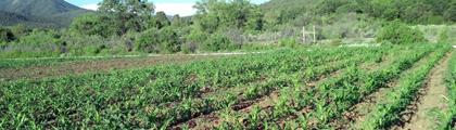 Tiea-Farms.png