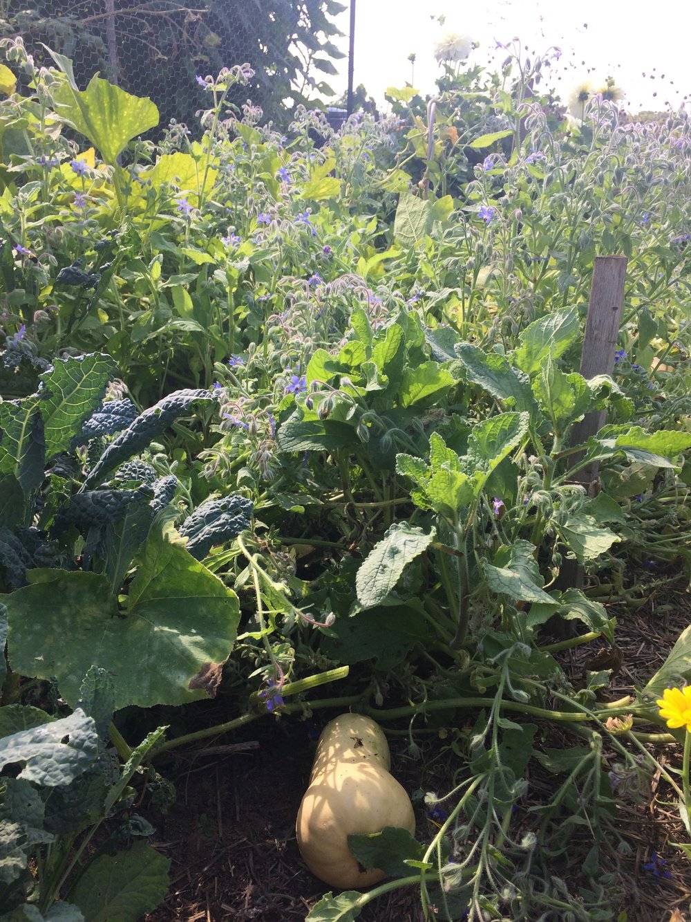 borage, kale, squash, strawberries, calendula