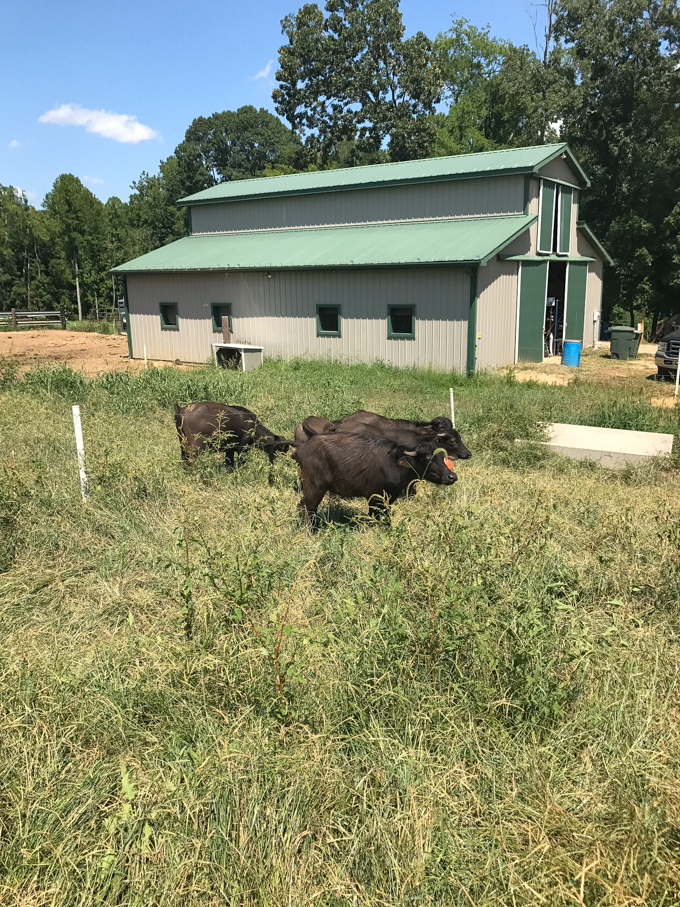 Beautiful Fading D Farm in Salisbury, NC and baby water buffalo | Post on CheersYears.com about touring the farm and cheese-making facility! #waterbuffalo #northcarolina