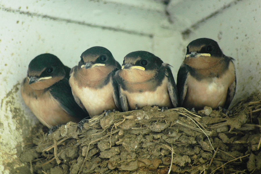Fledgling swallow chicks - ready to fly off. Sheryl Leigh [CC BY-SA 3.0 (https://creativecommons.org/licenses/by-sa/3.0)] via Wikimedia Commons.