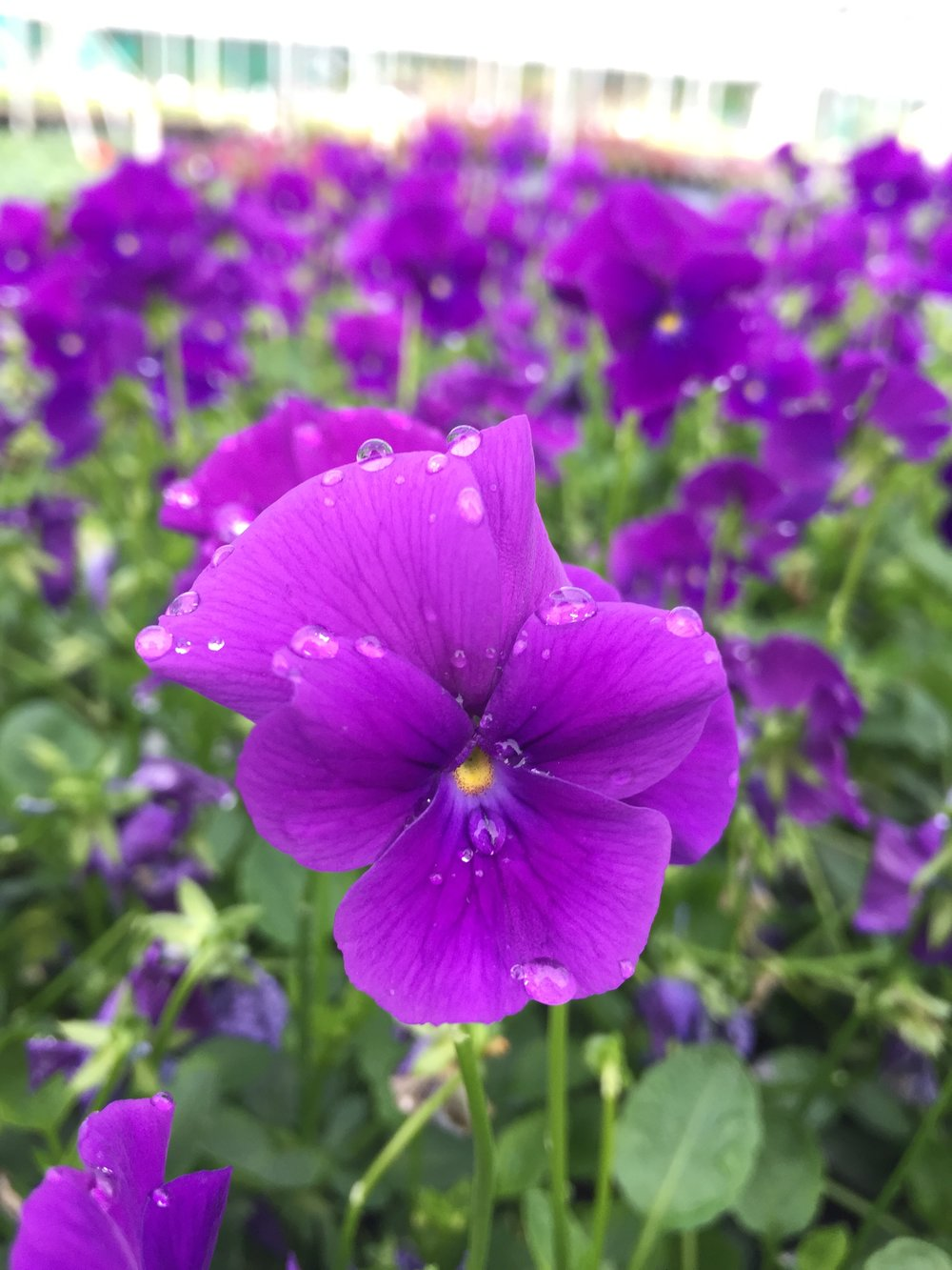 Viola cornuta Martin (2).JPG