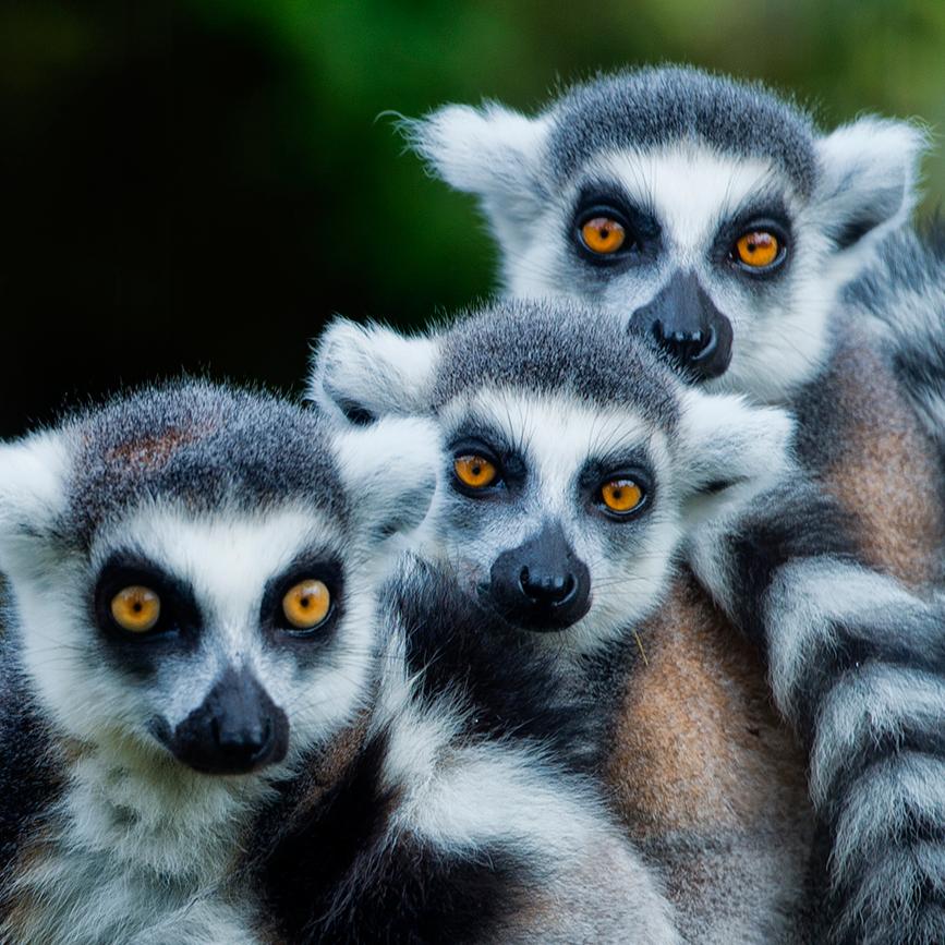 lemurs-2.png