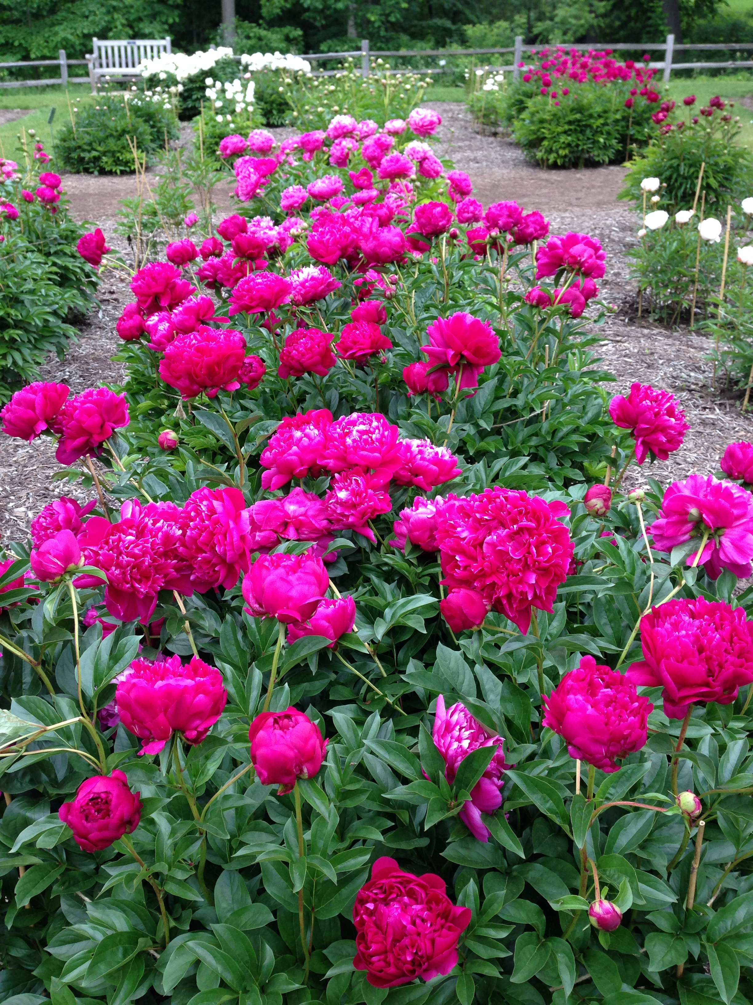 Peonies at  Nichols Arboretum  on the UM Campus Ann Arbor, Michigan June 2015