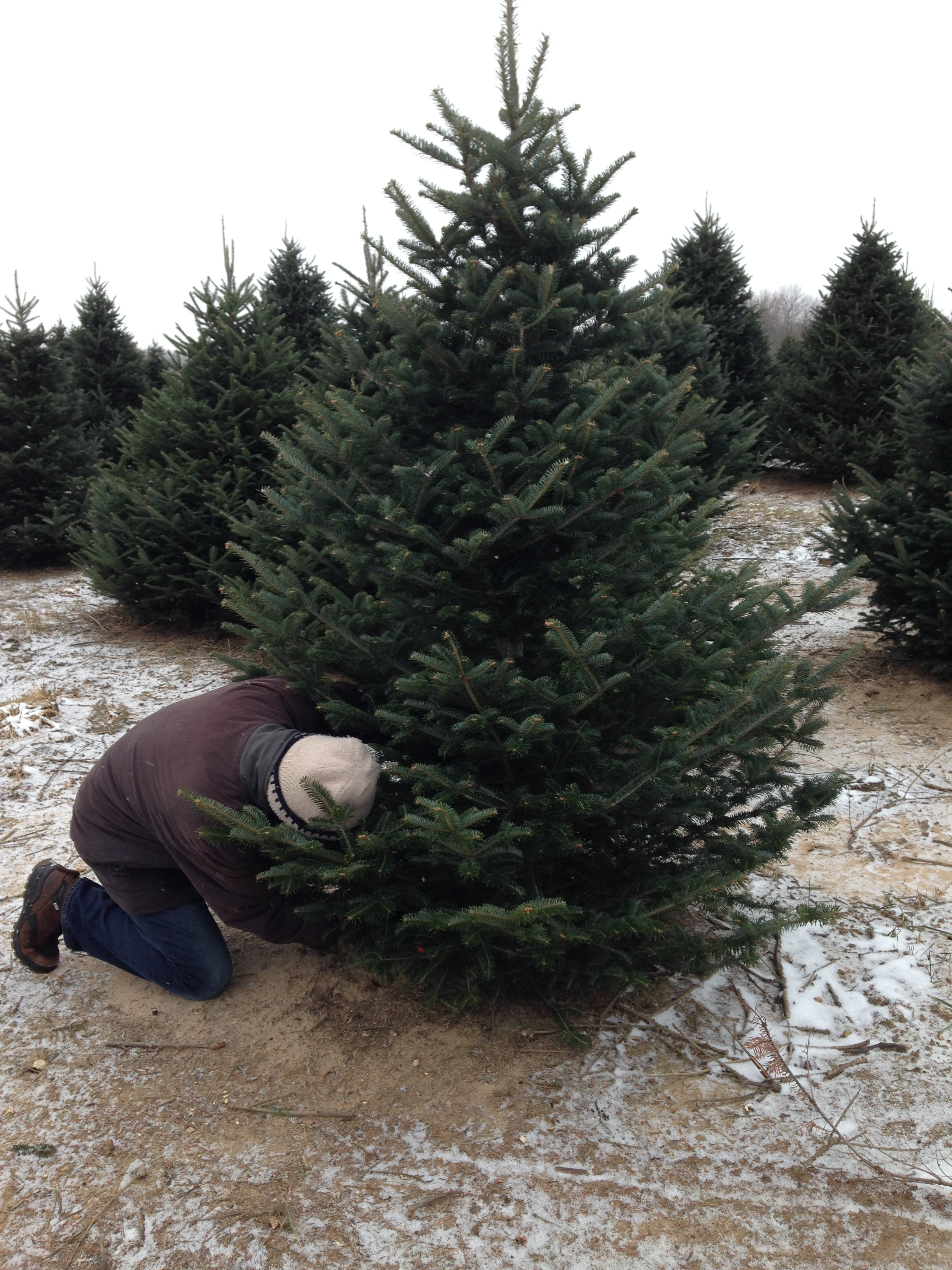 My husband cutting down our 2014 Christmas tree.