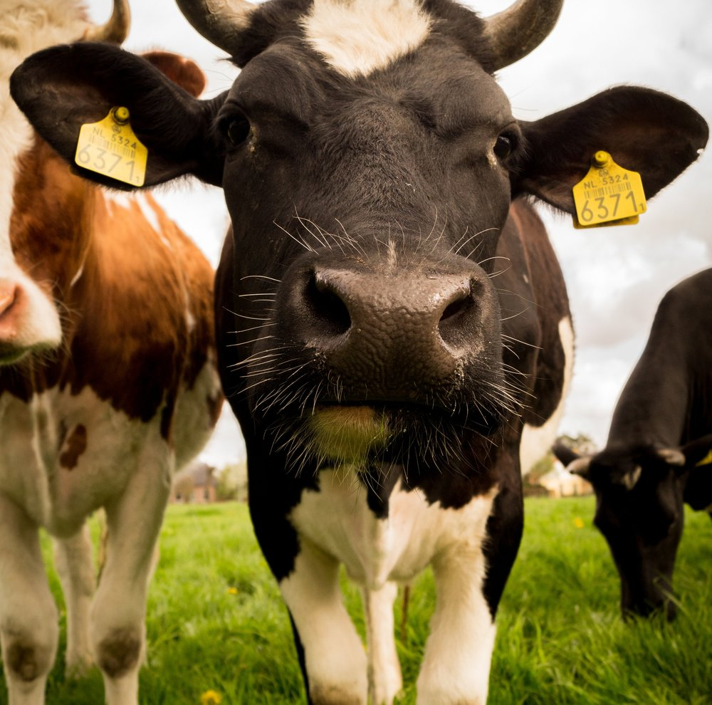 Cow2.jpg