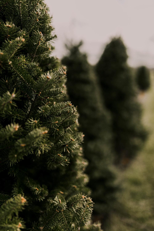 xmas tree farm_-9.jpg