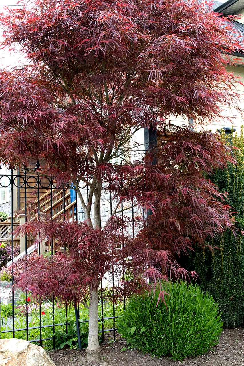 Mustang-Landscape-Garden-Design-Victoria-BC-Trees-Fence.jpg