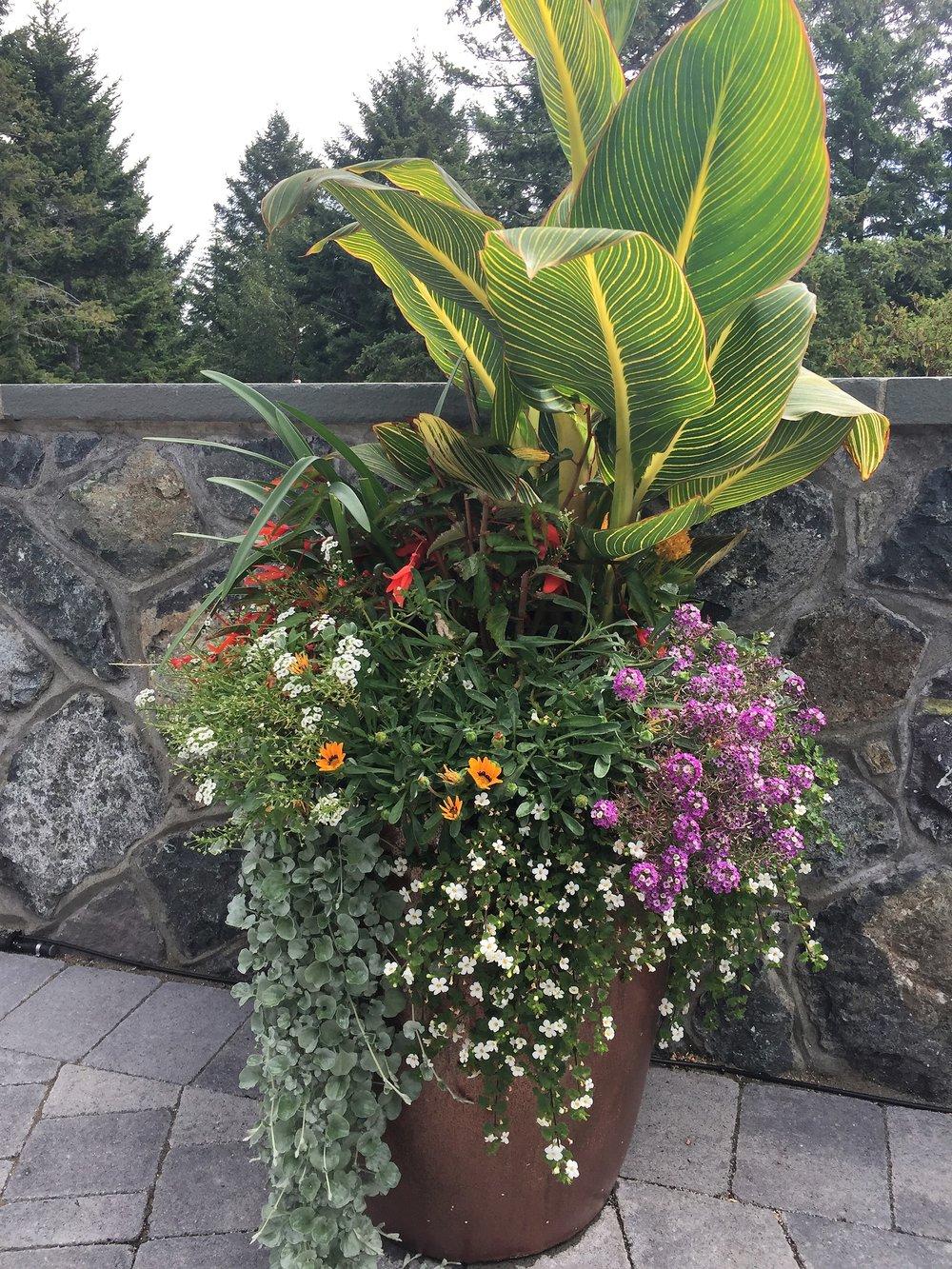 MustangLandscape-BC-Victoria-Garden-Summerplanter_calla-lily.jpg