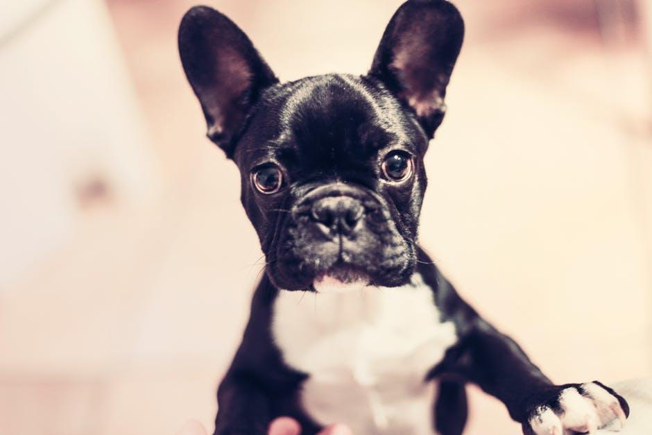 english bulldog.jpg