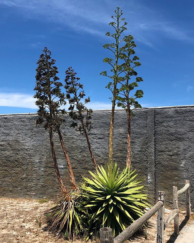 """Agave sisalana or Garingboom in Afrikaans is something I saw a lot of in Cape Town. In December (summer) it sends up a tall stalk with flowers. Agave is native to Mexico and were naturalized in South Africa in the 19th Century as an industrial resource. It's made their """"invasive"""" species list because it competes with indigenous species, create impenetrable thickets, and is poisonous to livestock. #southafrica #capetown #botany #plants #naturalist #nature #wildflowers #autumn #nature #hiking #theoutbound #optoutside #getoutstayout #choosemountains #everytrailconnects #wilderness #naturalhistory #thisisafrica"""