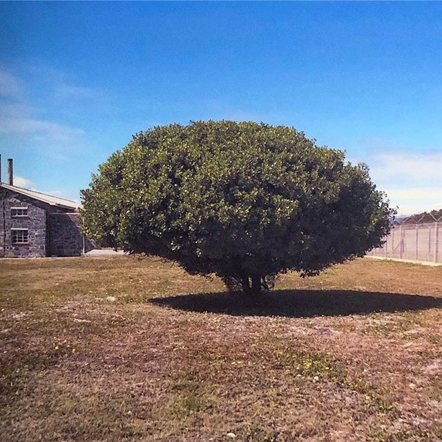 Let's talk about how something as beautiful as a tree can turn into a symbol of oppression. This tree on the grounds of Robben Island once provided shade to the old men who would gather here to talk about their possible paroles, commiserate, and share any good news. Prison authorities would torture the men by giving them the false hope of fake parole dates, only to have those dates come and pass, over and over for decades. Mr. Velelen Dayani was one of those men, who after 25 years of waiting for one false parole date after another, died under this tree as he sat for lunch. Soon after this tree that once was a place to share hope, became a landmark to despair. #southafrica #robbenisland #capetown #history #nature #tree