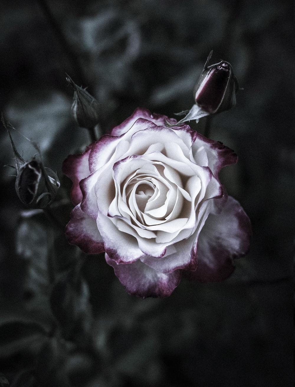 pinkwhiterose1.jpg