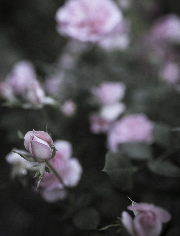 PinkRoseBud.jpg