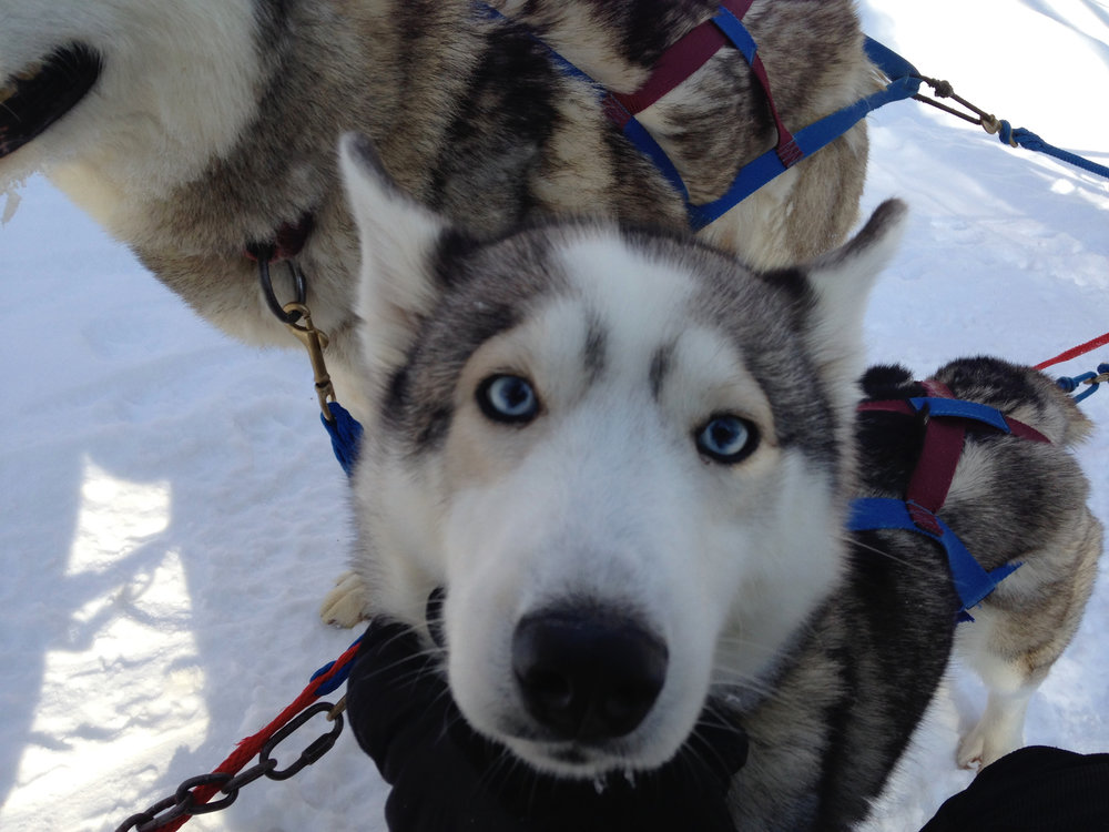 Getting Friendly with the Huskies