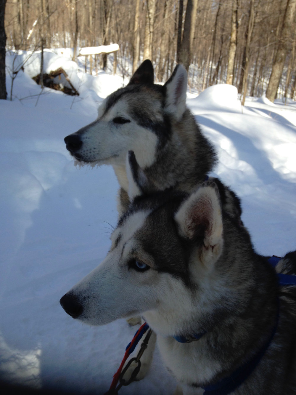 Huskies at the Ready