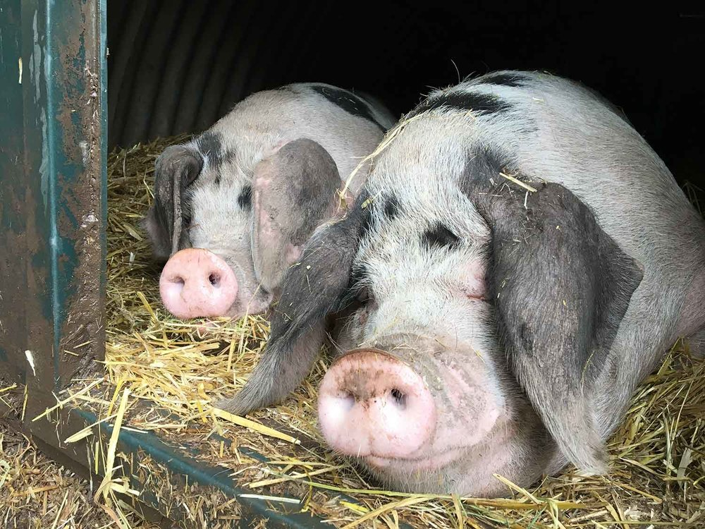 A-decent-life-for-pigs-at-The-Decent-Company-farm-Abergaveny.jpg