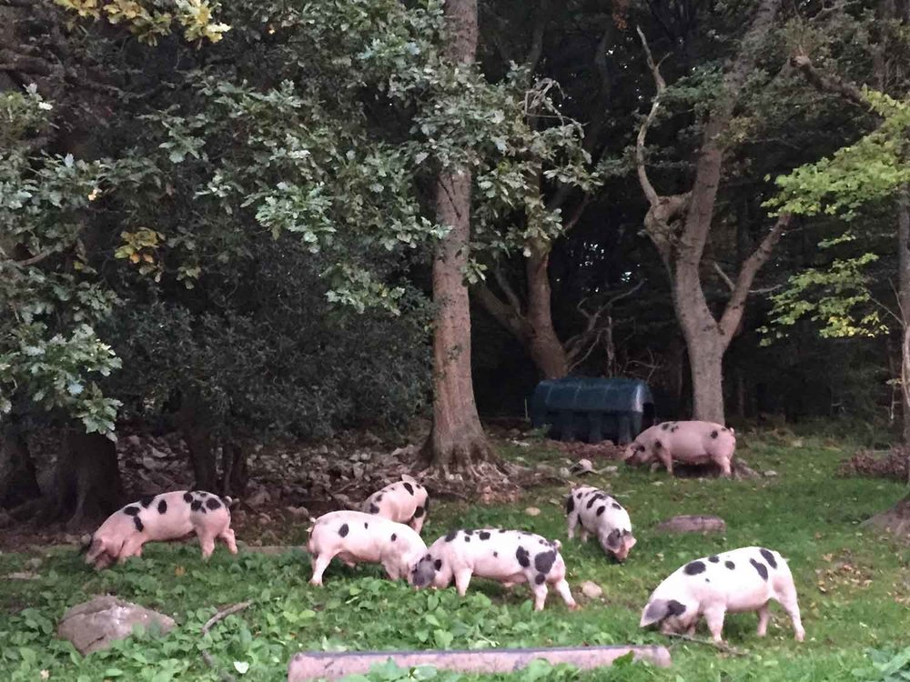 Our-free-range-pigs-are-free-to-root-and-roam.jpg