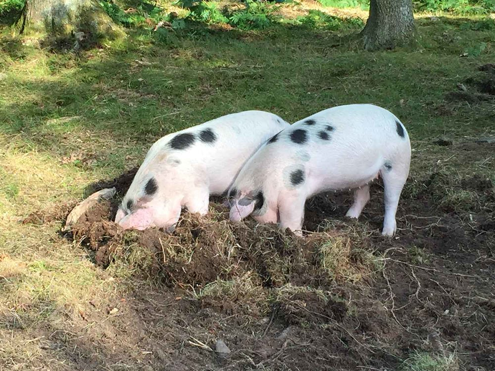 Pigs-free-to-root-and-roam-at-The-Decent-Company-farm.jpg