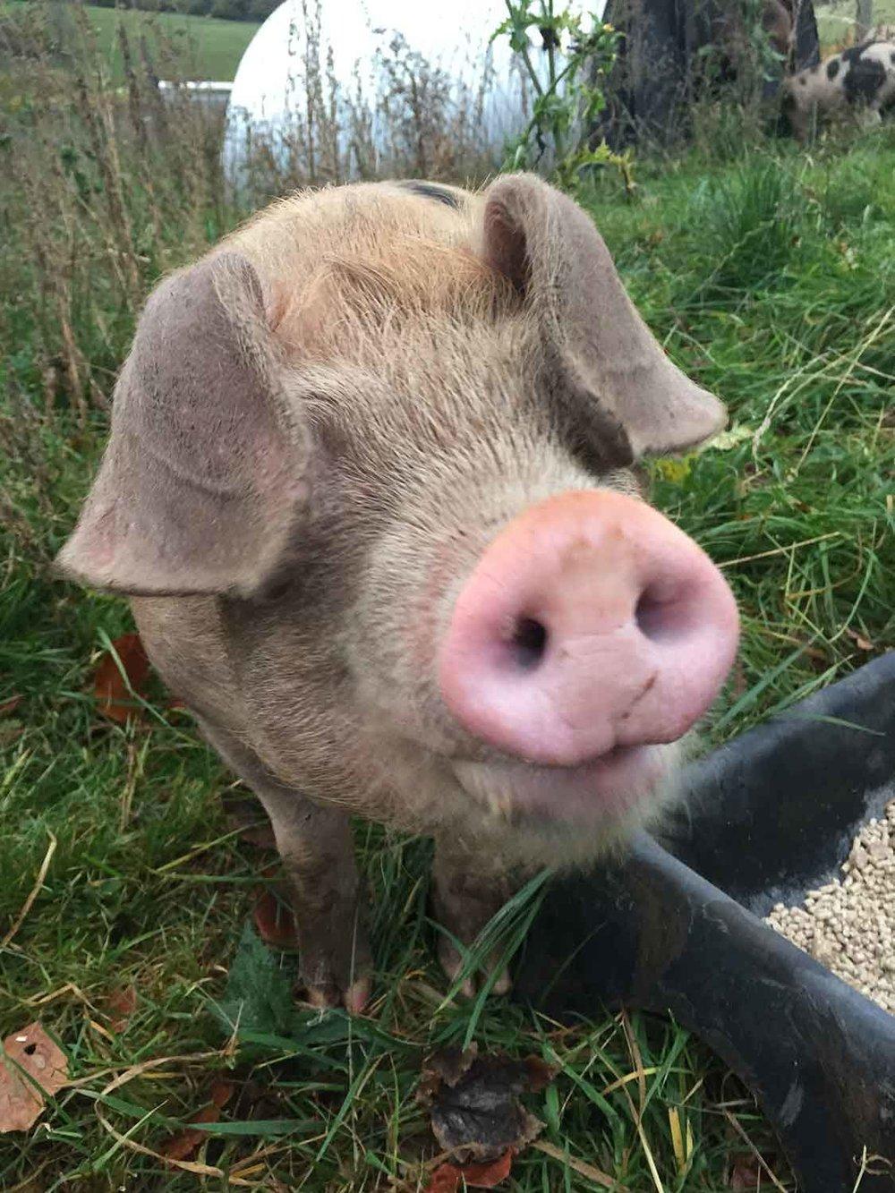 Free-range-pork-Abergavenny.jpg