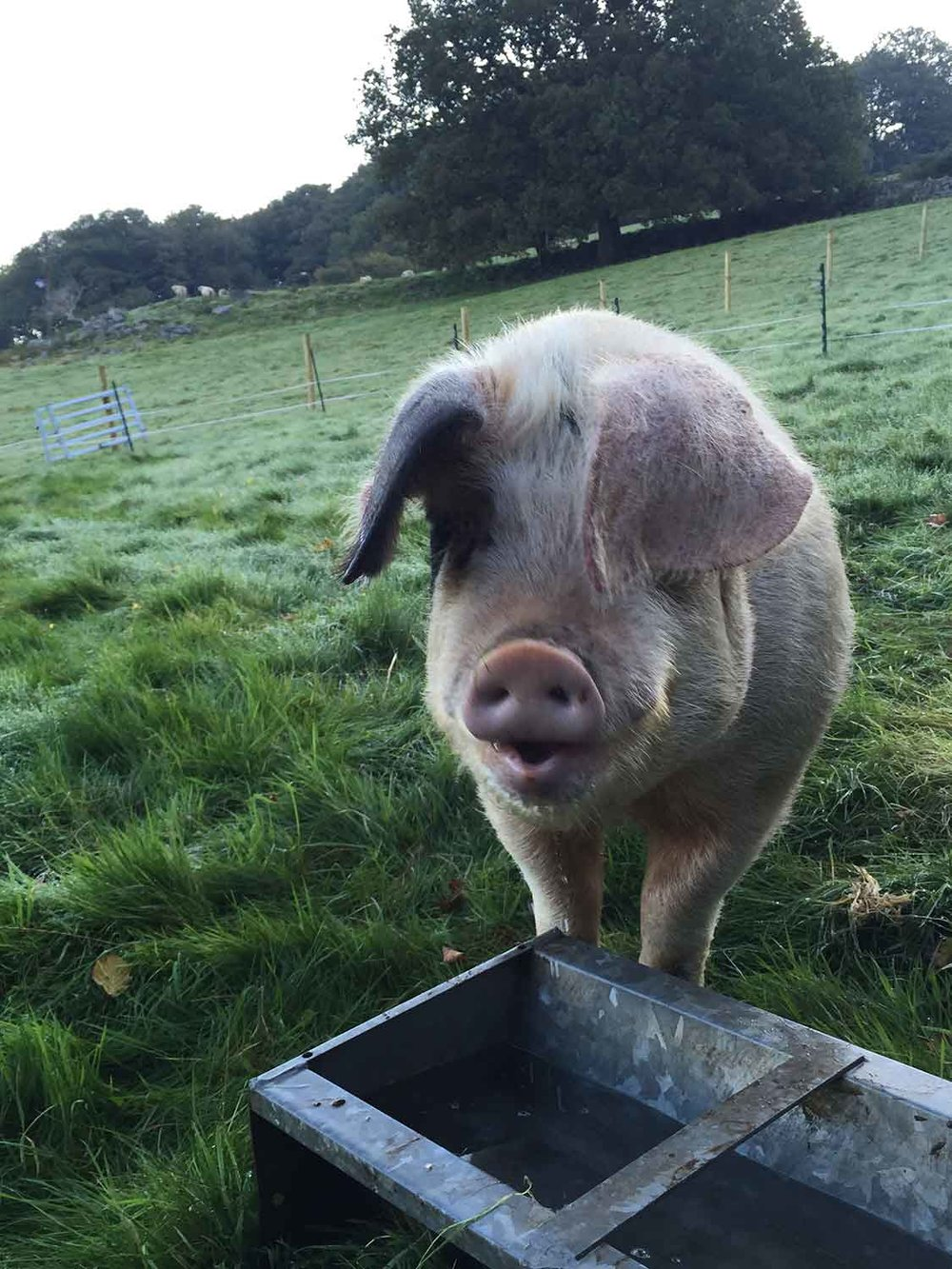 Free-range-meat-supplier-in-Abergavenny-Monmouthshire-South-Wales.jpg