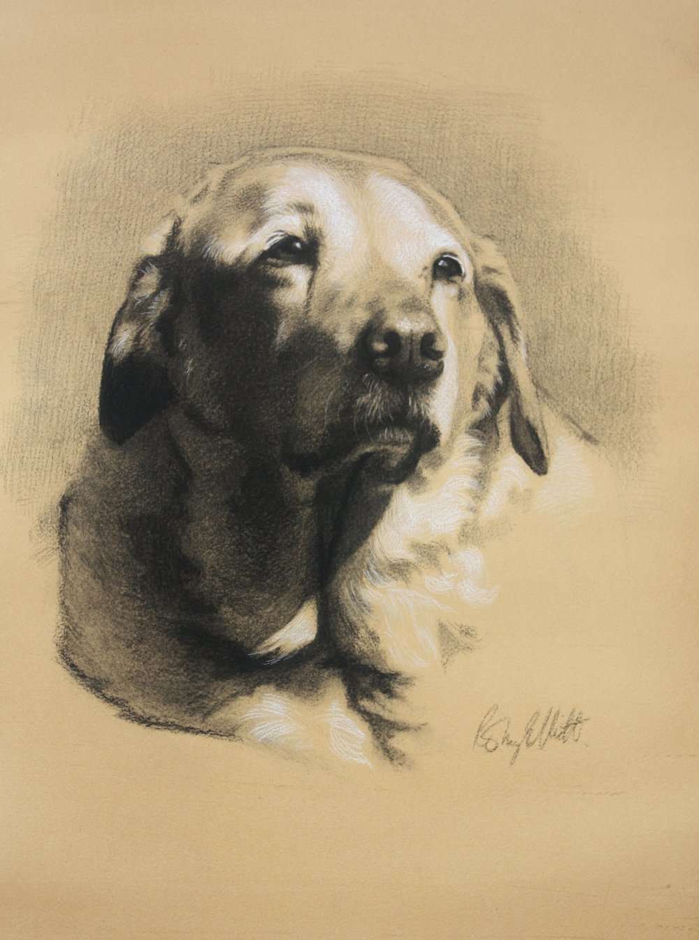 Yellow Labrador, Willow. Charcoal and white chalk