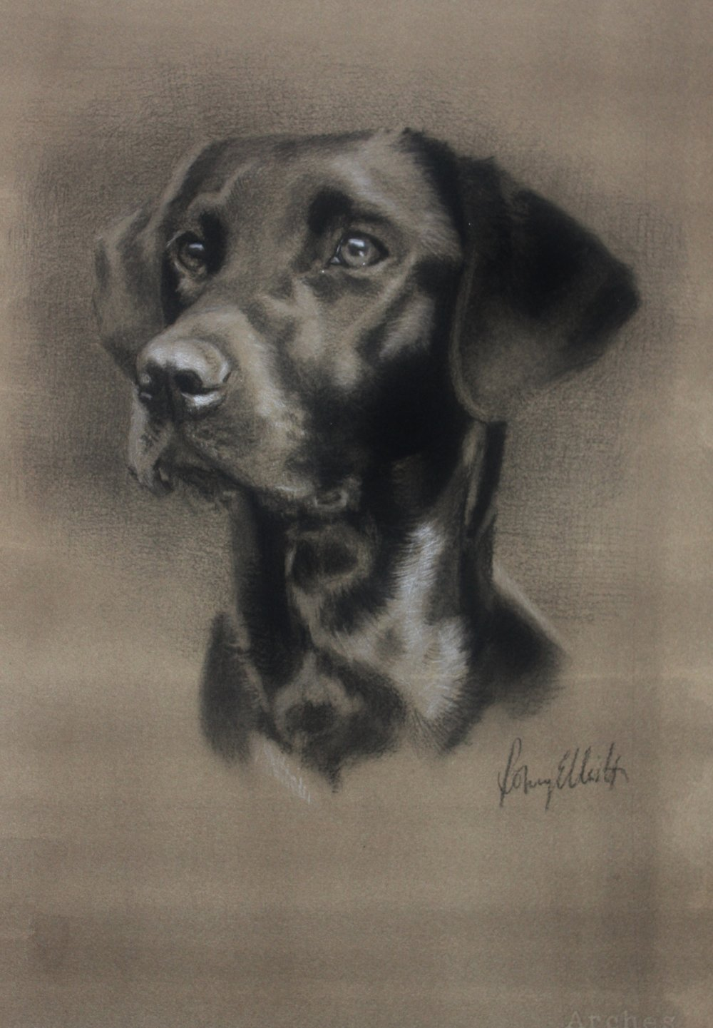 Young black Labrador, Fly. Charcoal and white chalk