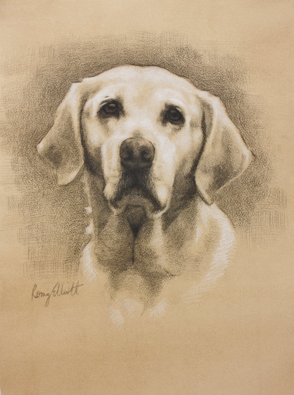 Yellow Labrador, Crumble. Charcoal and chalk
