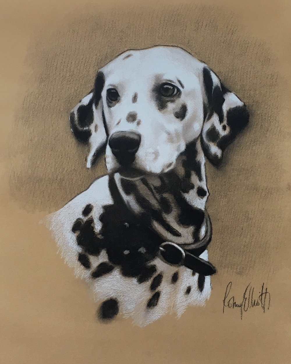 Dalmatian, Minty. Charcoal and white chalk