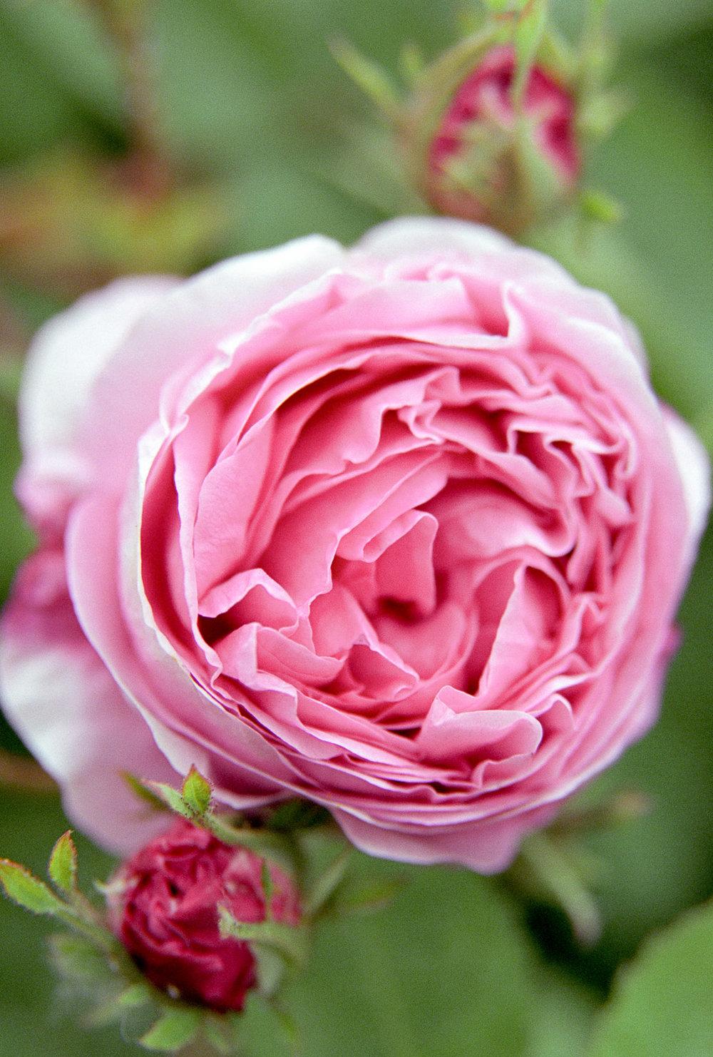 Rose, Springhead, Dorset