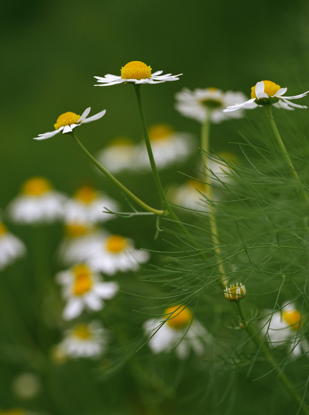 Chamomile and Fennel, Springhead, Dorset
