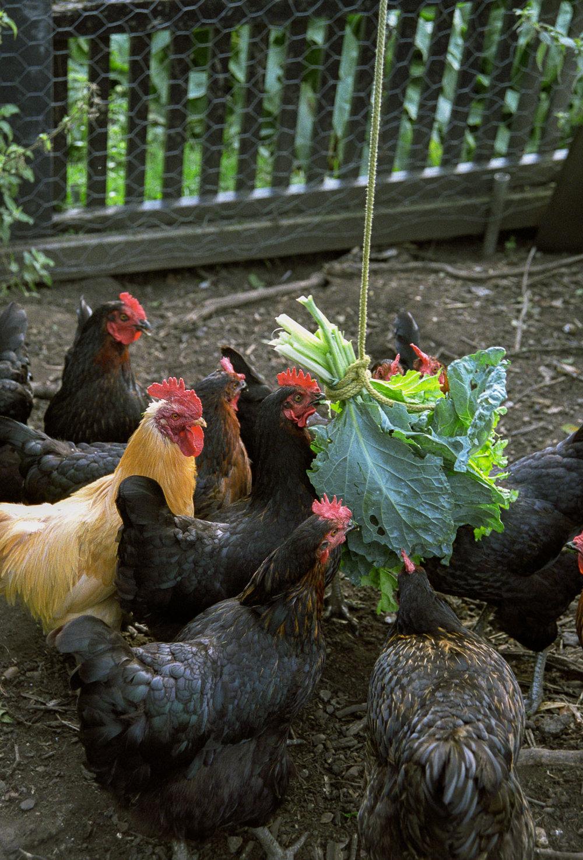 Chiswick Chickens ii