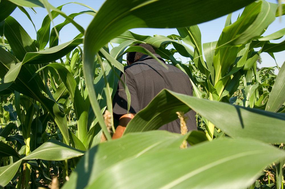 Maize, Enfield